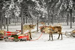 Two reindeers with sledges in winter arctic forest Kuvituskuvat