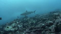Galapagos shark Malpelo Colombia Stock Footage