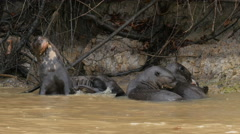 Giant otters, scratching and eating, 4k Stock Footage