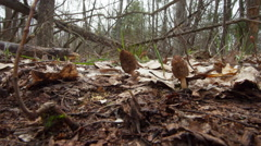 Timelapse of two white morel mushrooms Stock Footage