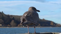 Gull On The Pier - 05 - Close Back Stock Footage