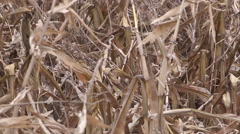Corn crops damaged flattened by severe wind storm in Ontario November 2014 Stock Footage