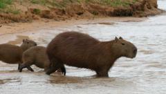 Capybaras entering water, 4k Stock Footage