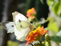 Butterfly in the summer. Related clips are in my portfolio in 1920x1080. - stock footage
