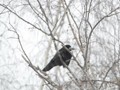 Crow on a tree. Related clips are in my portfolio in 1920x1080. - stock footage