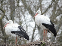 Family of storks. Related clips are in my portfolio in 1920x1080. Stock Footage