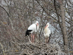 Storks in a nest. Related clips are in my portfolio in 1920x1080. Stock Footage