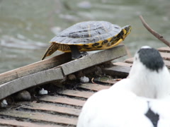 Turtle near a pond. Related clips are in my portfolio in 1920x1080. Stock Footage
