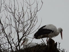Stork in a nest. Related clips are in my portfolio in 1920x1080. Stock Footage