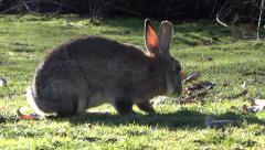 Wild Bunny Rabbits - 01 - Meadow Grass Stock Footage