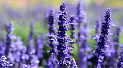 Salvia pratensis Stock Footage