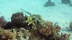 Cornetfish hunt on tropical coral reef Stock Footage