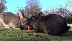 Wild Bunny Rabbits - 07 - Wood, Grass, Apple - stock footage