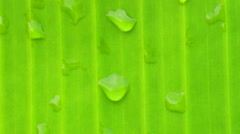 Banana leaf and dew drops Stock Footage
