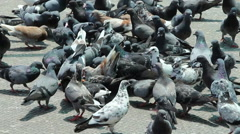 Group Pigeons Stock Footage