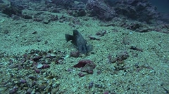 Grouper under thermoclient Malpelo Colombia Stock Footage