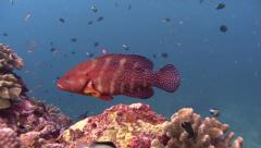 Coral grouper Similan Islands Thailand Stock Footage