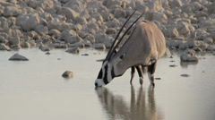 Stock Video Footage of Oryx drinks at water hole