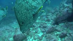 Leather bass Malpelo Colombia Stock Footage