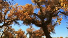 Populus euphratica forest Stock Footage