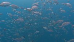 Bigeye trevally Palau Micronesia Stock Footage