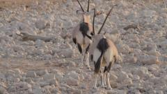 Two oryxes getting away Stock Footage