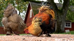 chicken in front of a swedish house - stock footage