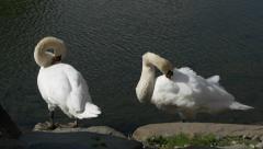 Swans at Matsumoto Castle in Nagano, Japan Stock Footage