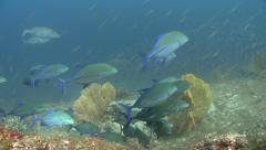 Bluefin trevally Similan Islands Thailand Stock Footage