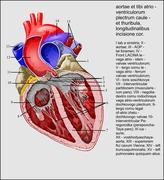 aortic valve Latina - stock illustration
