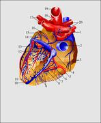 Heart and blood vessels 2 Latine Stock Illustration