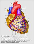 Stock Illustration of heart and blood vessels Latina