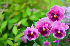 Group of pansy in the garden Stock Photos