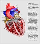 Aortic valve ru Stock Illustration