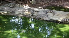 Crocodiles are near the green water Stock Footage
