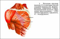 Pectoralis major muscle ru Stock Illustration