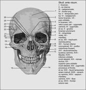 skull Latine - stock illustration