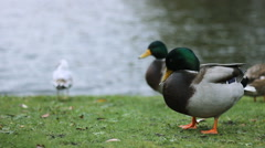 Seagulls and Ducks 1920x1080 full hd footage Stock Footage
