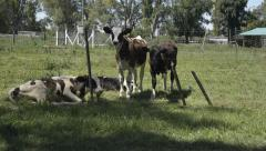 Group of calves resting and looking at the camera - stock footage