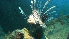 Common lionfish Palawan Philippines Stock Footage