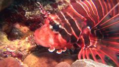 Shortfin lionfish Kuredu Maldives Stock Footage