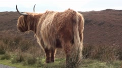 Highland Cow on the moor Stock Footage