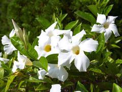 White allamanda flowers with buds. Stock Photos