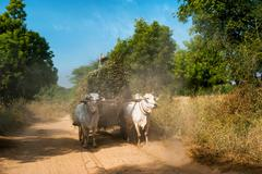 oxen pulling cart with hay. myanmar (burma) - stock photo
