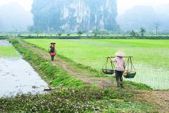 Vietnamese farmer works at rice field. ninh binh, vietnam Stock Photos