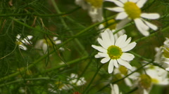 Chamomile flowers. It's a nasty day. Stock Footage