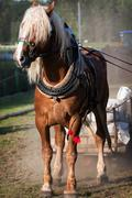 draft horse in harness - stock photo