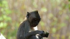 Monkey Bali FHD 96FPS Stock Footage