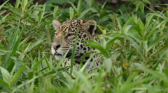 Jaguar head, Pantanal, 4k Stock Footage