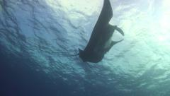 Manta ray black Revillagigedos Islands Mexico Stock Footage